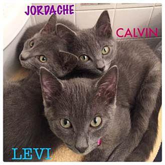 Domestic Shorthair Kitten for adoption in Merrifield, Virginia - Levi