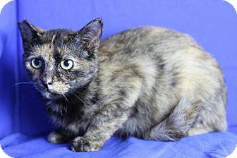 Domestic Shorthair Cat for adoption in Winston-Salem, North Carolina - Zinnia