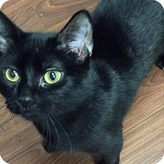 Domestic Shorthair Cat for adoption in Verdun, Quebec - Agathe