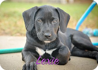 Labrador Retriever Mix Puppy for adoption in Colmar, Pennsylvania - Lexie
