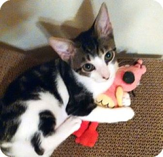 Domestic Shorthair Cat for adoption in Houston, Texas - Karina