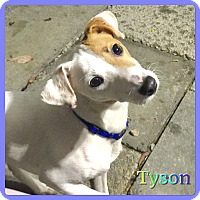 Adopt A Pet :: Tyson - Hollywood, FL