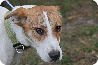 Catahoula Leopard Dog/Hound (Unknown Type) Mix Dog for adoption in Sanford, Florida - Garth
