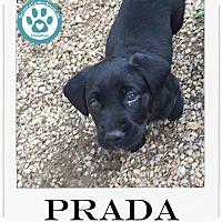 Adopt A Pet :: Prada - Kimberton, PA