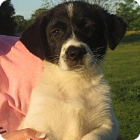 Adopt A Pet :: Lulu Belle - Greenville, RI