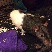 Adopt A Pet :: Layne - Ann Arbor, MI
