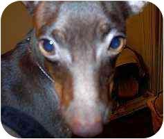 Miniature Pinscher Puppy for adoption in Florissant, Missouri - Remington