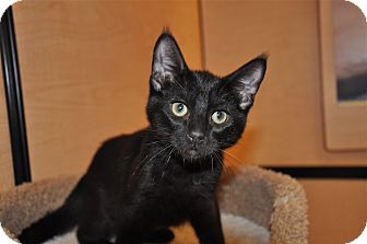 Domestic Shorthair Kitten for adoption in Foothill Ranch, California - Jermaine