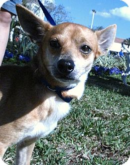 Chihuahua Mix Dog for adoption in Gainesville, Florida - Poppy