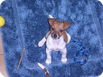"""Jack Russell Terrier Mix Puppy for adoption in New Castle, Pennsylvania - """" Libby """""""