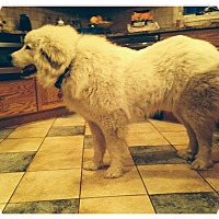 Adopt A Pet :: Greta - Minneapolis, MN