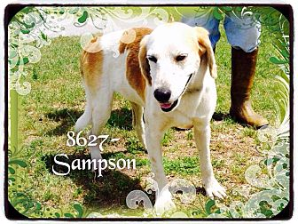 Hound (Unknown Type) Mix Dog for adoption in Dillon, South Carolina - Sampson