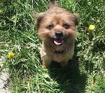 Yorkie, Yorkshire Terrier Mix Dog for adoption in Detroit, Michigan - Gizmo *Special Needs*