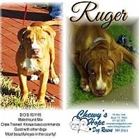 Hound (Unknown Type)/Pit Bull Terrier Mix Dog for adoption in Boyd, Texas - Ruger