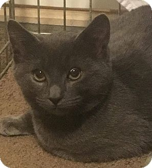 Domestic Shorthair Kitten for adoption in Mount Laurel, New Jersey - Spruce