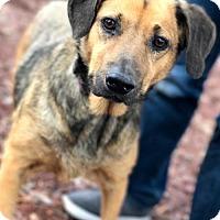 Australian Cattle Dog/Shepherd (Unknown Type) Mix Dog for adoption in Melrose, Florida - Mocha