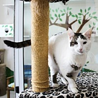 Domestic Shorthair Cat for adoption in Columbus, Ohio - Truffles