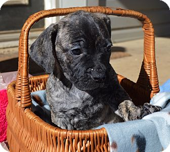 Labrador Retriever/Bouvier des Flandres Mix Puppy for adoption in East Windsor, Connecticut - POLLY