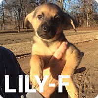 Adopt A Pet :: Lillie Mae - Burlington, VT