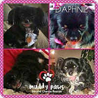 Adopt A Pet :: Daphnie - Council Bluffs, IA