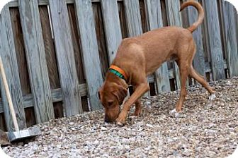 Coonhound Mix Dog for adoption in Novelty, Ohio - Trigger