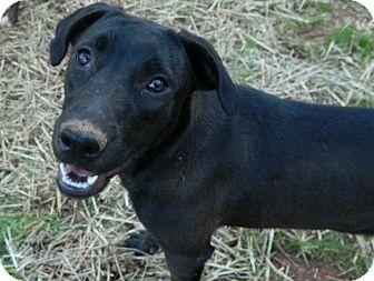 Labrador Retriever Mix Dog for adoption in West Bridgewater, Massachusetts - Midnight