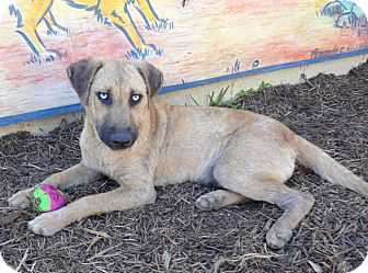 Catahoula Leopard Dog Mix Puppy for adoption in Houston, Texas - Casey