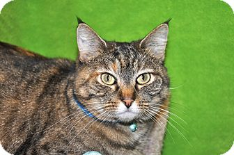 Domestic Shorthair Cat for adoption in Foothill Ranch, California - Maddie