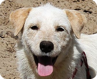 Wirehaired Fox Terrier/Wheaten Terrier Mix Dog for adoption in Carrollton, Texas - BIJOU