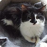 Adopt A Pet :: Button aka Smudge - Orillia, ON