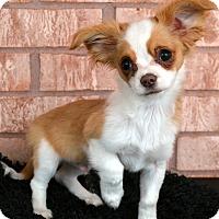 Adopt A Pet :: Ruffy-Adoption pending - Bridgeton, MO