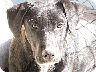 Labrador Retriever Mix Dog for adoption in Groton, Massachusetts - Shiloh
