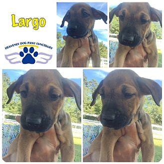 Boxer Puppy for adoption in Folsom, Louisiana - Largo