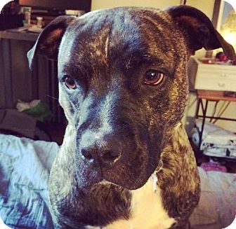 Pit Bull Terrier Dog for adoption in Williston, Vermont - Jenny