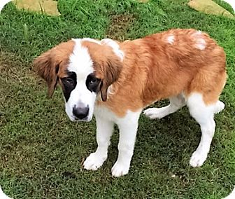 St. Bernard Puppy for adoption in McKinney, Texas - Sugar
