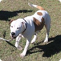 Adopt A Pet :: Pippa - Ocala, FL