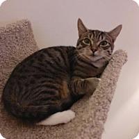 Domestic Shorthair Kitten for adoption in Boynton Beach, Florida - Allston