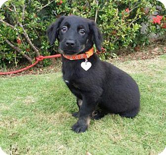 Corgi/Weimaraner Mix Puppy for adoption in Gloucester, Massachusetts - Kona