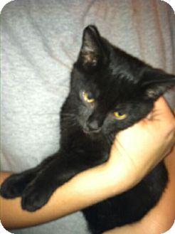 Domestic Shorthair Kitten for adoption in Chesterfield, Virginia - Coal