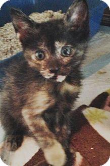 Domestic Shorthair Kitten for adoption in Harvey, Louisiana - Karmin