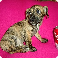 Adopt A Pet :: Tiger - Hagerstown, MD
