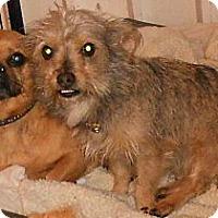 Adopt A Pet :: Pug/Terrier Mix - Aloha, OR