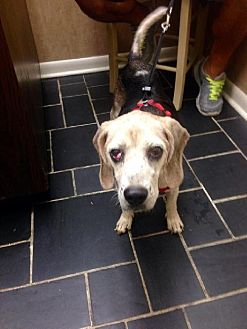 Beagle Dog for adoption in Jacksonville, Florida - Blazer