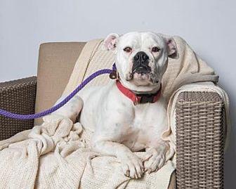 American Bulldog/American Bulldog Mix Dog for adoption in Santa Paula, California - Lili