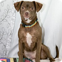 Adopt A Pet :: Maya - Fayetteville, AR