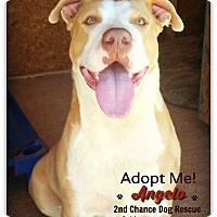 Adopt A Pet :: Angelo - Queen Creek, AZ