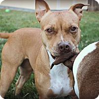 Staffordshire Bull Terrier Dog for adoption in Wymore, Nebraska - Jazzie Mae