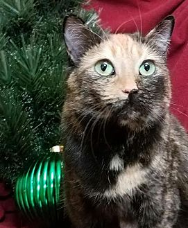 Domestic Shorthair Cat for adoption in Colfax, Iowa - Patches