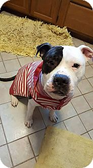 American Bulldog Mix Dog for adoption in Villa Park, Illinois - Harry