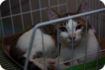 Polydactyl/Hemingway Cat for adoption in Walla Walla, Washington - Thumbelina